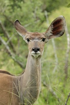 Kudu listening in two different directions  - Africa
