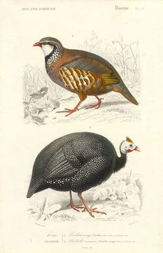 Guinea Fowl and Partridge Perdrin rubra and Numida meleagris (via Antique print picture of Guinea Fowl and Partridge by Travies)