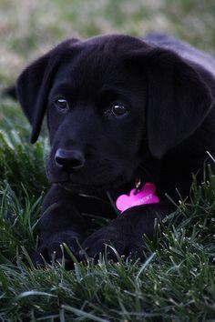 black labrador puppy.   (KO) She's a girl puppy!  She is adorable. Very cute!