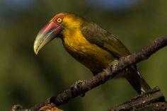 Foto araçari-banana (Pteroglossus bailloni) por Gabriel Bitencourt | Wiki Aves - A Enciclopédia das Aves do Brasil
