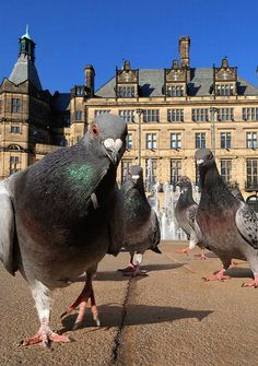 """Pigeon Gang Gets Rough With Tourists A gang of pigeons is reportedly wreaking havoc in Barcelona where the birds are targeting tourists. """"They got all up in my face,"""" said Harry Wohl, a vacationer. All Birds, Love Birds, Beautiful Birds, Angry Birds, Animals And Pets, Funny Animals, Cute Animals, Pigeon Funny, Animal Pictures"""