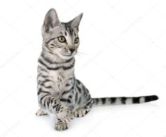 Bengal cat in studio - Stock Photo , White Bengal Cat, White Background Images, Birds In Flight, Photo Library, Royalty, Stock Photos, Studio, Pets, Abstract
