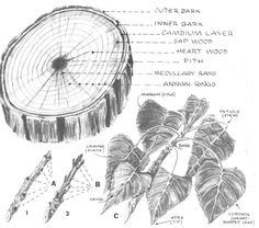 How to Draw Trees, Bark, Twigs, Leaves and Foliage Drawing Tutorial - Page 2 of 2 - How to Draw Step by Step Drawing Tutorials