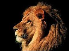 leone animale - Cerca con Google