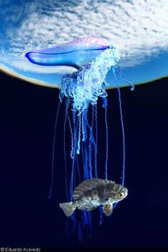 """best of show"" at deep indonesia: portuguese man o' war (physalia physalis) – eduardo acevedo"