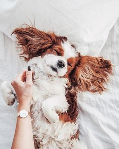 Are you looking for the best Cavalier King Charles Spaniel dog names?