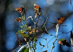 Monarch Butterflies wintering in Goleta, California by Katherine Chawner Davis, via Flickr