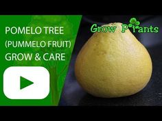 Pomelo tree - Learn how to grow Pomelo tree, plant information - climate, zone, uses, growth speed, water, light, planting & bloom