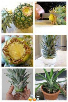 A plantar una piña en casa, a ver si lo consigo!!