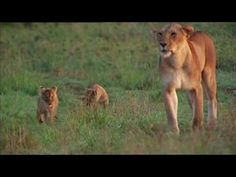 Lions kill infants they don't know, so this lion mother hides her cubs for the first six weeks, visiting only to feed them. When she introduces the cubs to t. Baby Lion Cubs, Baby Lions, Carnivorous Animals, Wild Lion, A Day In Life, Wild Nature, Rainforest Site, My Animal