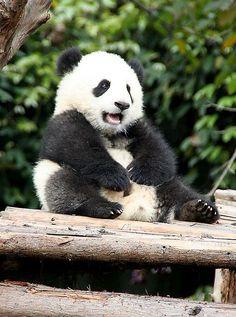 """funkysafari: """" Giant Panda Cub by gill_penney """" Panda Love, Cute Panda, Red Panda, Happy Panda, Animals And Pets, Baby Animals, Cute Animals, Wild Animals, Animals Beautiful"""