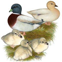 Pastel Call Ducks Saxony Call Ducklings