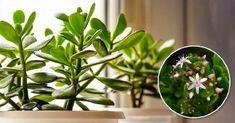 Cu ce trebuie să fertilizați copacul banilor: patru soluții naturiste! - Pentru Ea Feng Shui, Wisteria, Indoor Plants, Home And Garden, Nature, Miniature Gardens, Cottages, Gardening, Houses