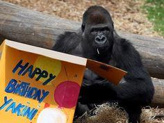ALLPE Medio Ambiente Blog Medioambiente.org : Yakini, un bebé de gorila estrella en Internet con 12 años y 140 kilos