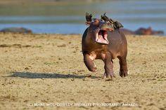 Voici les photosgagnantes desComedy Wildlife Photography Awards 2015!Si noussommes maintenant habitués aux concours photo, comme les célèbresWild