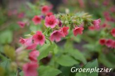 Pulmonaria Rubra, perfect plant in the shade. #schaduwplant. Flowers early spring.