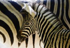 A newborn zebra stands beside its mother at a zoo in Duisburg, Germany.