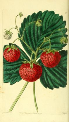 Vintage Botanical Fruit Painting by Augusta Withers 04 S (Strawberry)