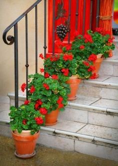 Red Geraniums in clay pots....basic but amazing