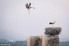 Cigüeñas - Cigüeña alcanzando su nido en el pantano de Garaio, en Vitoria - Gasteiz.