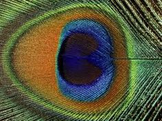 Close-Up of the Eye of a Peacock Feather, (Pavo Cristatus) Peacock Art, Peacock Feathers, Peacock Logo, Paper Feathers, Peacock Design, Feather Art, Beautiful Birds, Pretty Birds, Nature Pictures