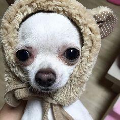 Teddy Bear Chihuahua                                                                                                                                                                                 Más
