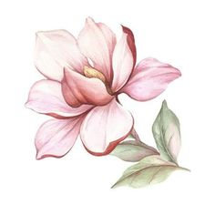 Flor Magnolia, Magnolia Branch, Magnolia Flower, Botanical Drawings, Botanical Illustration, Watercolor Illustration, Arte Floral, Botanical Flowers, Botanical Prints