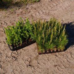 "TILBUD ""SOMMERHUS-pakken NÅL"" Jiffyplanter til barske lokaliteter. Karton med 64 stk."