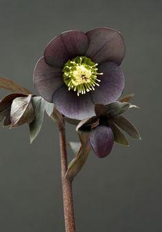 Amateur gardener Juliet Davis has a garden filled with beautiful hellebores which she breeds herself.