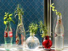 Rooting herbs in water More
