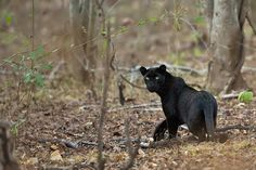 Resultado de imagem para shadow black leopard