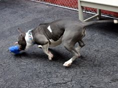 SAFE❤️❤️ 3/17/16 BY RESCUE DOGS ROCK NYC❤️ THANK YOU❤️ TO BE KILLED 3-17-2016 Manhattan Center My name is TALIA. My Animal ID # is A1067502. I am a female white and gray am pit bull ter mix. The shelter thinks I am about 2 YEARS old. I came in the shelter as a STRAY on 03/13/2016 from NY 10467, owner surrender reason stated was STRAY.