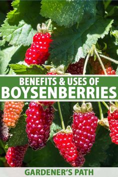 Have you ever tasted a boysenberry? In this article, we dive into the red-ripe, juicy-sweet world of this hybrid berry. You'll learn about its many health benefits, plus delicious recipe ideas. Learn more about the uses and benefits of boysenberries now on Gardener's Path, #boysenberry #growyourown #gardenerspath Organic Gardening, Gardening Tips, Vegetable Gardening, Nutrition Plans, Diet And Nutrition, Backyard Farmer, Propagation, Cuttings, Starting A Garden