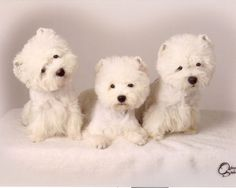 Puppies for sale - West Highland White Terriers, Westies - in Crystal Beach, Florida..