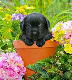 Mind Blowing Facts About Labrador Retrievers And Ideas. Amazing Facts About Labrador Retrievers And Ideas. Black Lab Puppies, Cute Puppies, Cute Dogs, Dogs And Puppies, Doggies, Labrador Retrievers, Black Labrador Retriever, Cute Animal Pictures, Puppy Pictures