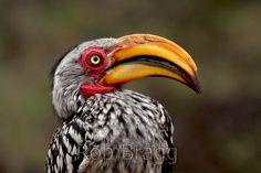 Yellow billed hornbill - Stock Photo