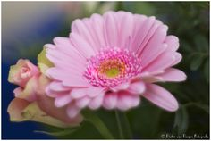 https://flic.kr/p/C8g1n7   Gerbera   Gerbera is a genus of plants in the Asteraceae (daisy family). It was named in honour of German botanist and medical doctor Traugott Gerber (1710-1743) who travelled extensively in Russia and was a friend of Carolus Linnaeus. It is very popular and widely used as a decorative garden plant or as cut flowers  Made with Sony NEX-6 and Minolta MD Rokkor 50mm f/1.4