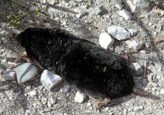 European Mole...
