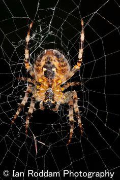 Garden Spider Garden Spider