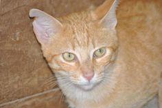 SHELOMO - Gato en adopción - AsoKa el Grande