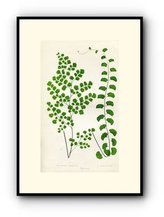 Edward Joseph Lowe Fern (Adiantum Assimile & A. Lunulatum) Antique Botanical Print, 1857 1st edition. Wood Block Engraving, Book Plate by TheOldMapShop on Etsy