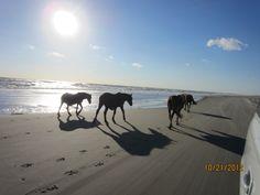Wild Horses, Corrolla, NC