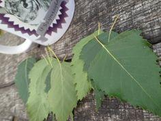 Birch-tree - food for chinchillas. Brzoza - liście brzozy dla szynszyli. Zdrowa dieta.