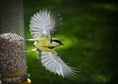 Bird taking off, garden Oxfordshire – (Pix.ie Photo of the Day!)  by Henry Stuart