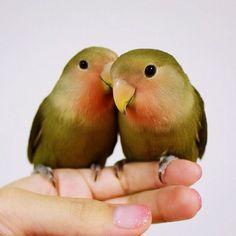 whispering - lovebirds - Twitter / @kotorinai