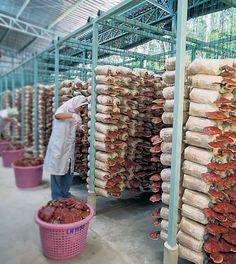 Ganoderma lucidum (em chinês Língzhī , em japonês reishi ; em coreano: yeongji ) é uma espécie de cogumelo muito apreciado naÁsia, onde...