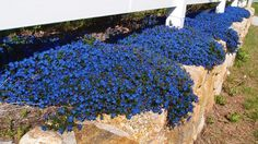 I suspect quite a few islanders, heading into Oak Bluffs on New York  Avenue, nearly ran off the road when the blazing blue plants trailing  over the retaining wall came into view. For those who would like to know  more about this over-the-top cobalt blue splash, the plant is Lithodora  diffusa, in the family famous for other blues, the Boraginaceae.