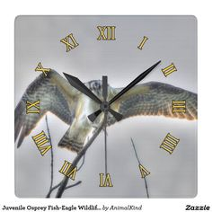 Juvenile Osprey Fish-Eagle Wildlife Photo Scene Square Wall Clocks