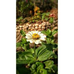 Beatiful flower ~daisy  3/4#