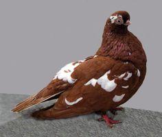 english short faced tumbler pigeon